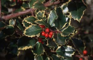 berries-id34